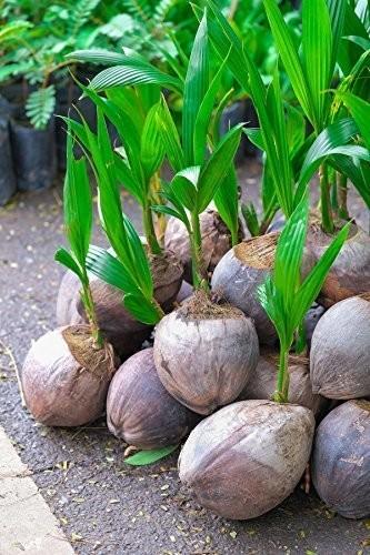 Buy شجرة جوز الهند الخضراء هاواي يعيش البذور جوز الهند النخيل 36 بوصة يستبعد Ca Online In Bahrain 194543543